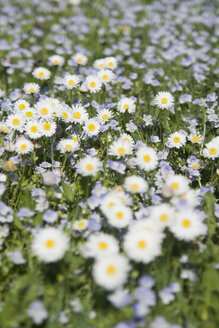 Germany, Bavaria, Wild daisies (Asteraceae), close-up - LFF00149