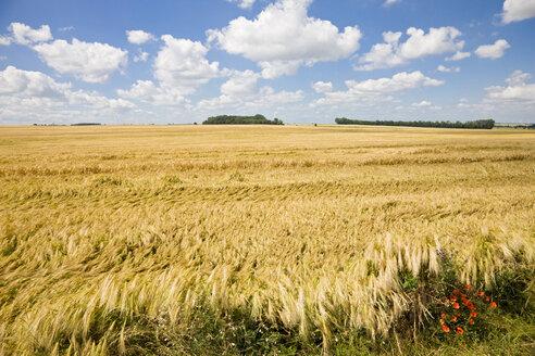 Germany, Saxony-Anhalt, Rye field - FOF00773