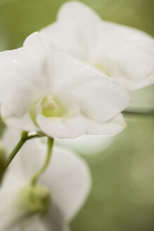Orchid blossom (Orchidaceae), close-up - GAF00039