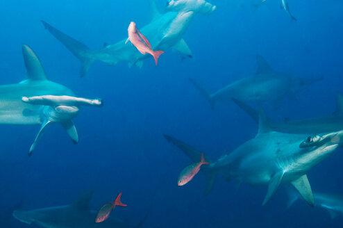 Galapagos Islands, Ecuador, School of Hammerhead sharks - GNF01033