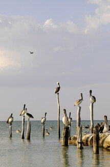 Mexico, Holbox Island, Pelicans sitting on wooden post in ocean - GNF01004