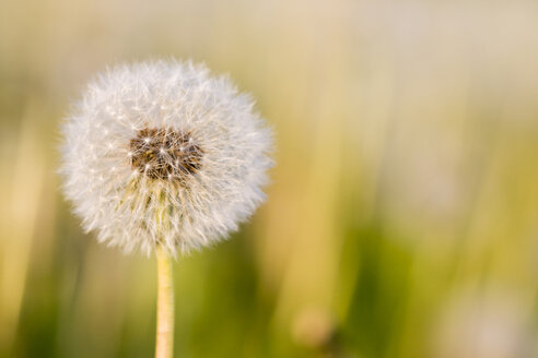 Germany, Bavaria, Dandelion head, close-up - FOF00794