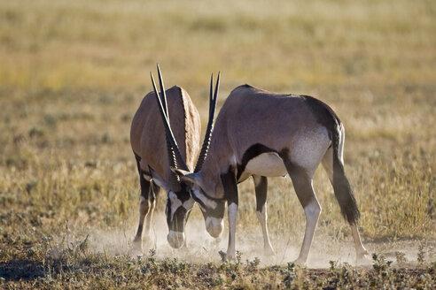 Africa, Namibia, Two gemsbok bulls (Oryx Gazella) sparring - FOF00938