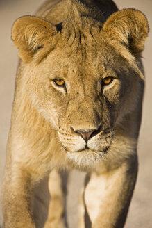Africa, Namibia, Kalahari, Lioness (Panthera leo), close-up - FOF00905