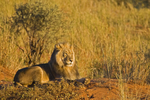 Africa, Namibia, Lion (Panthera leo) lying in grass - FOF00899