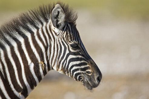 Africa, Zebra (Equus quagga burchelli), portrait - FOF01108