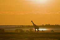 Africa, Namibia, Etosha National Park,   Masai giraffe (Giraffa Camelopardalis Tippelskirchi), sunset - FOF01099