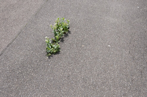 Plant growing on asphalt, elevated view - AWDF00033