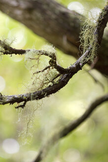 Portugal, Madeira, Levada, Branch, close-up - GAF00084