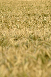Field of rye (secale), close up - CRF01500