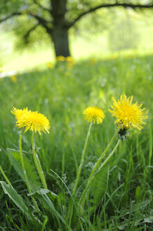 Germany, Dandelion meadow (taraxacum officinale), Tree in background - SMF00423