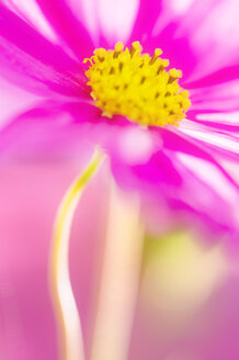 Cosmos flower (Cosmea), close-up - SMF00384