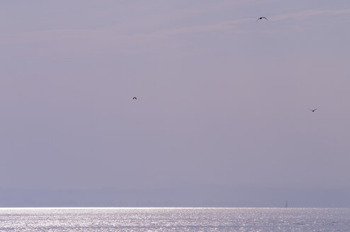 Germany, Langenargen, Seagulls over Lake Constance - SMF00372