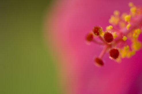 Pink hibiscus flower (Hibiscus), close-up - SMF00366