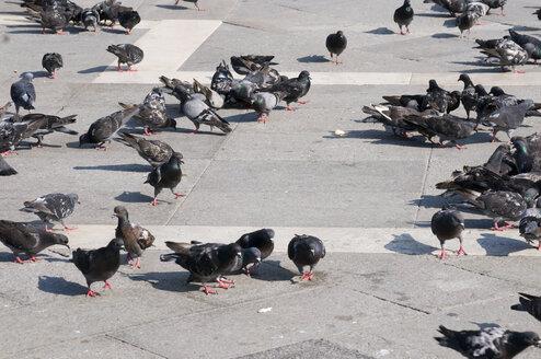 Italy, Venice, Markusplatz, Lots of Pigeons - AWDF00208