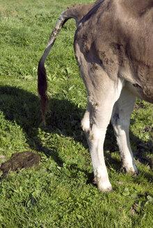 Germany, Allgaeu, Cattle in the meadow - AWDF00079