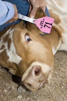 USA, Texas, Dallas, Cattle getting earmark, close-up - PK00278