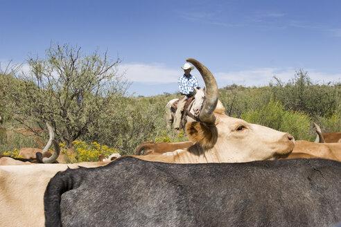 USA, Texas, Dallas, Cowboy and Texas Longhorn Cattles (Bos taurus) - PK00272