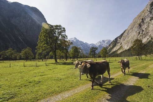Austria, Karwendel, Cows on path - WESTF10524