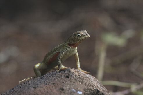 Galapagos Islands, Lizard sitting on rock, close up - RMF00259