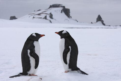 Antarctica, South Shetland Islands, Two Gentoo Penguins (Pygoscelis papua) - RM00197