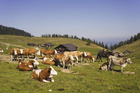 Austria, Cattle herd on mountain pasture - WWF00601