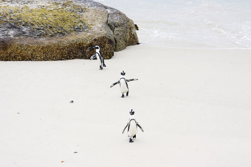 Africa, Cape Town, Boulder Beach, Jackass Penguins (Speniscus demersus) walking on beach - RRF00170