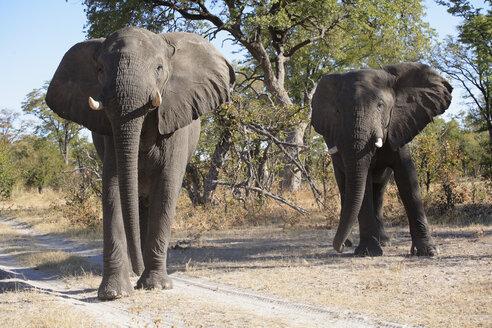 Africa, Botswana, Okavango Delta, Two African elephants (Loxodonta africana) - PK00329