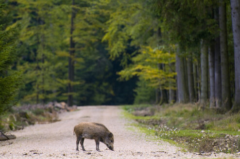 Wild hog on track in forest - SM00428