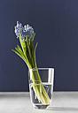 Grape hyacinths in flower vase, close up - KSW00433