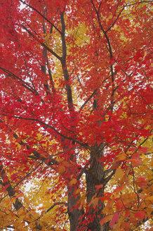USA, New Hampshire, Maple trees ((Acer spec.) in autumn - RUEF00185