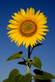 France, Provence, Rognes, Sunflower, close up - PSF00231