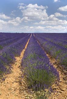France, Provence, Valensole, Lavender fields - PSF00228