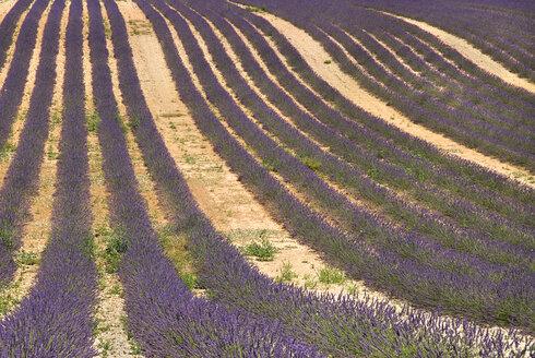 France, Provence, Valensole, Lavender fields - PSF00225