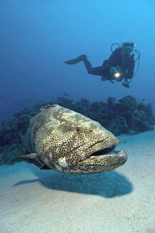 Egypt, Red Sea, Scuba diver and Malabar grouper (Epinephelus malabaricus) - GNF01156
