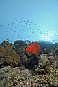 Egypt, Red Sea, Common bigeye (Priacanthus hamrur) - GNF01117