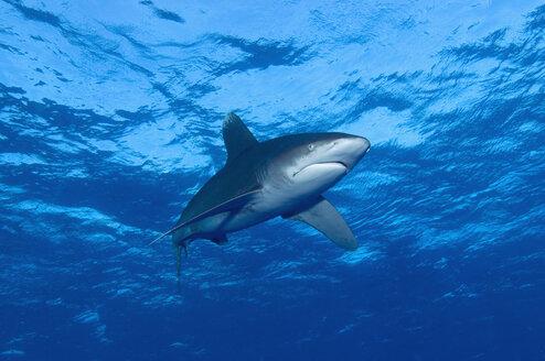 Egypt, Red Sea, Oceanic whitetip shark  (Carcharhinus longimanus) - GNF01105