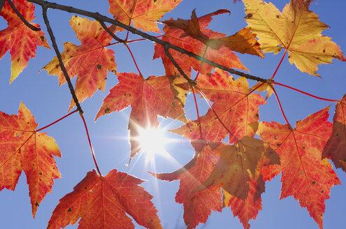 USA, New England, Maple leaves against blue sky - RUEF00220