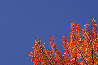 USA, New England, Maple tree, autumn colours - RUEF00217
