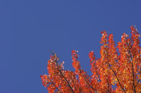 USA, New England, Maple tree, autumn colours - RUEF00217