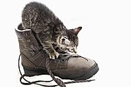 Domestic cat, kitten playing with hiking shoe - 11410CS-U