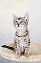 Domestic cat, kitten looking up, portrait - 11334CS-U