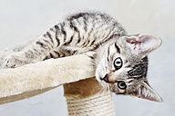 Domestic cat, kitten lying on cat tree - 11313CS-U