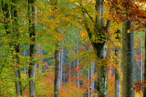 Germany, Baden-Württemberg, Forest, autumn colours - SMF00495