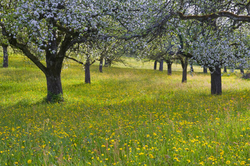 Germany, Baden Württemberg, Blooming trees on meadow - SMF00483
