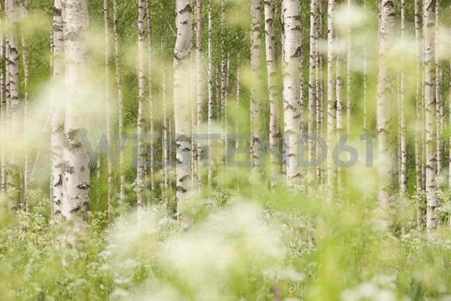 Finland, Birch forest - AC00002