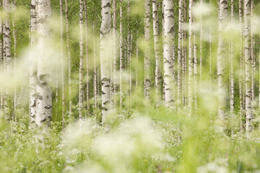 Finland, Birch forest - AC00002
