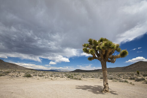 USA, California, Death Valley National Park, Joshua Tree (Yucca brevifolia) in landscape - FOF01564