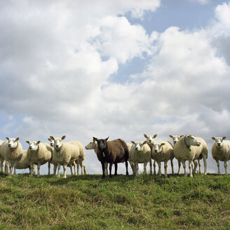 Netherlands, Flock of sheep standing on field - PMF00816