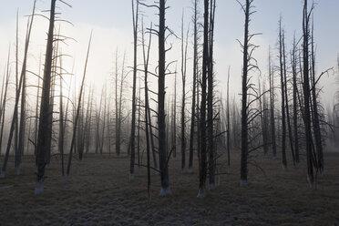 USA, Yellowstone Park, Dead trees in misty landscape - FOF01806